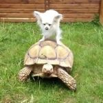 https://aui.me/wp-content/uploads/2018/12/little-white-chihuahua-riding-a-tortoise-1-12362-1343835203-0_big.jpg